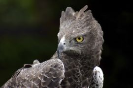 Original art for sale at UGallery.com | Martial Eagle by Andrew Stein | $150 | photography | http://www.ugallery.com/photography-martial-eagle-7874
