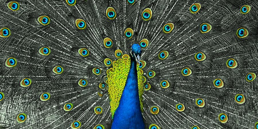 Original art for sale at UGallery.com | Peacock #2 by KEVIN PERLIC | $220 |  | ' h x ' w | http://www.ugallery.com/photography-peacock-2