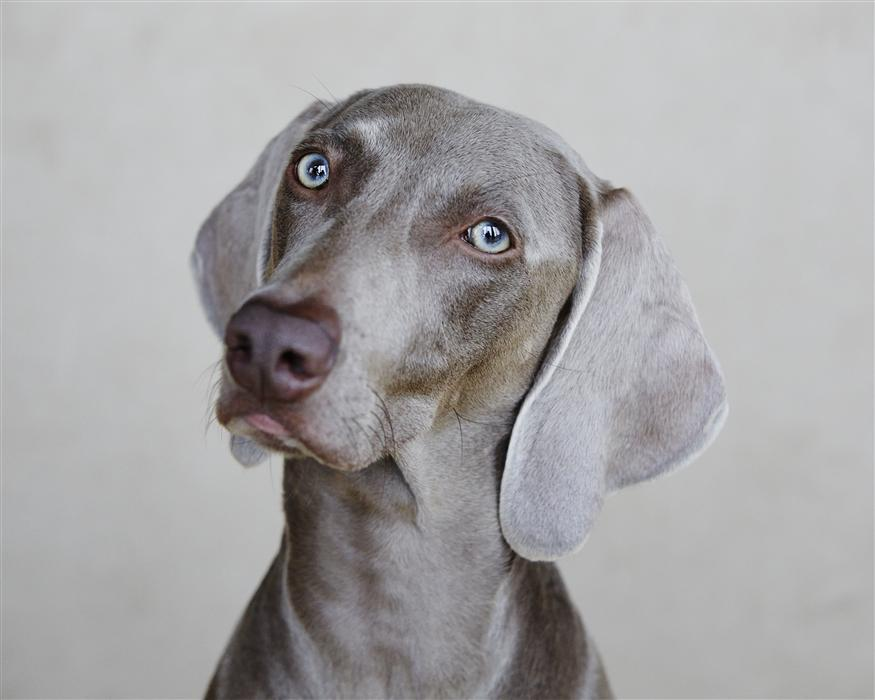Original art for sale at UGallery.com | Weimaraner by KATHLEEN FINLAY | $220 |  | ' h x ' w | http://www.ugallery.com/photography-weimaraner