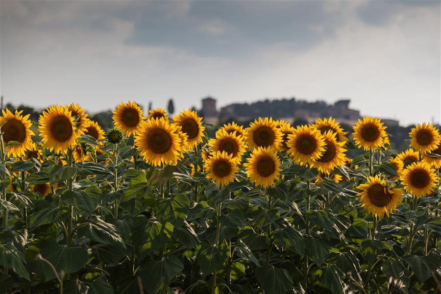 Discover Original Art by Mathew Lodge | Tuscany Sunflowers, Italy photography | Art for Sale Online at UGallery