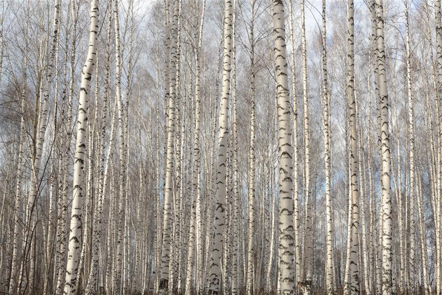Original art for sale at UGallery.com | Birch Grove by MARIA PLOTNIKOVA | $180 |  | ' h x ' w | http://www.ugallery.com/photography-birch-grove