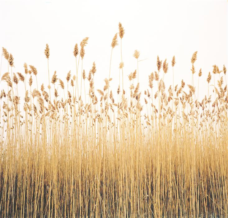 Original art for sale at UGallery.com | Reeds by MARK YAGGIE | $160 |  | ' h x ' w | http://www.ugallery.com/photography-reeds