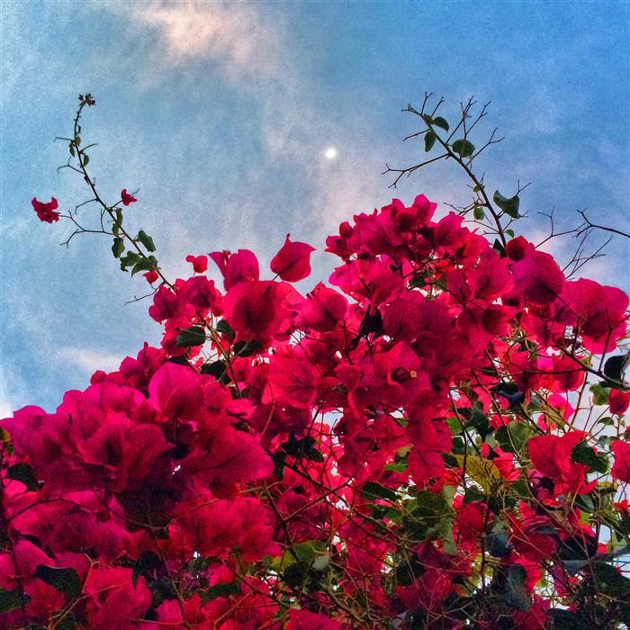Original art for sale at UGallery.com | Bougainvillaea Reaching for the Moon by GREG DYRO | $110 |  | ' h x ' w | http://www.ugallery.com/photography-bougainvillaea-reaching-for-the-moon