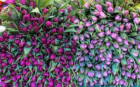 Nature art,Flora art,photography,Purple Tulips in Paris