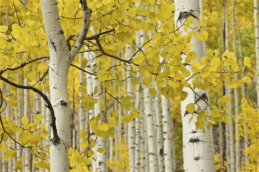 Original art for sale at UGallery.com | Fall Aspen Close-up by ABHI GANJU | $195 |  | ' h x ' w | http://www.ugallery.com/photography-fall-aspen-close-up