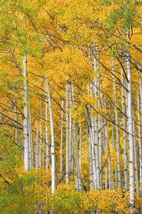 Original art for sale at UGallery.com | Ohio Pass Aspens by ABHI GANJU | $175 |  | ' h x ' w | http://www.ugallery.com/photography-ohio-pass-aspens