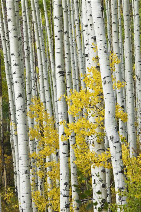 Discover Original Art by Abhi Ganju | Castle Creek Aspens Vertical photography | Art for Sale Online at UGallery