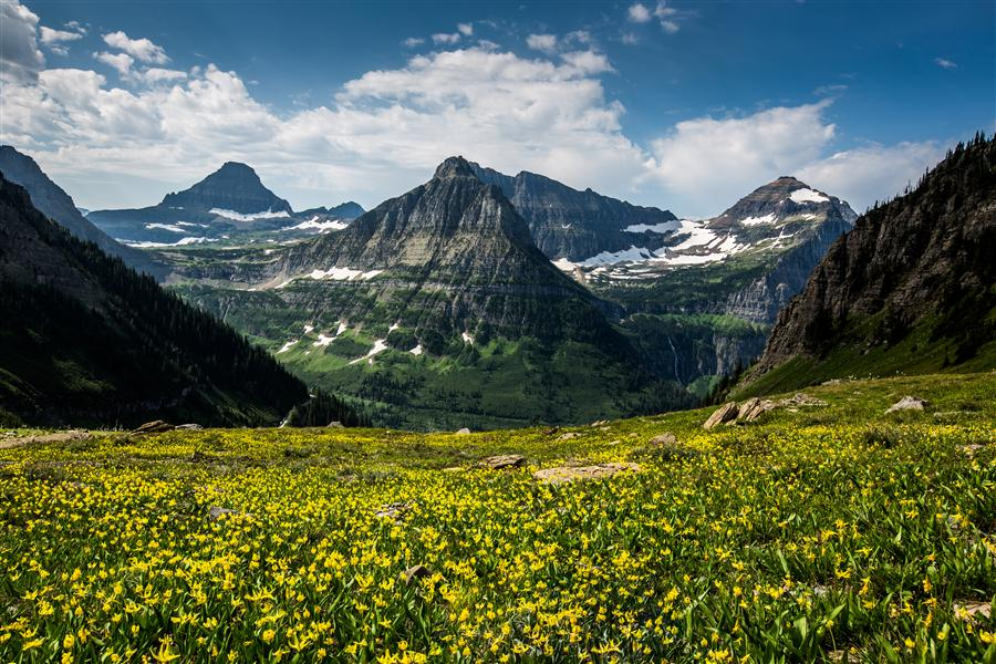 Original art for sale at UGallery.com | Glacier Lilies, Glacier National Park by JAY MOORE | $170 |  | ' h x ' w | http://www.ugallery.com/photography-glacier-lilies-glacier-national-park