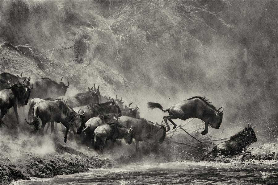 Original art for sale at UGallery.com | Wildebeest Jumping by AMOGHAVARSHA JS | $295 |  | ' h x ' w | http://www.ugallery.com/photography-wildebeest-jumping