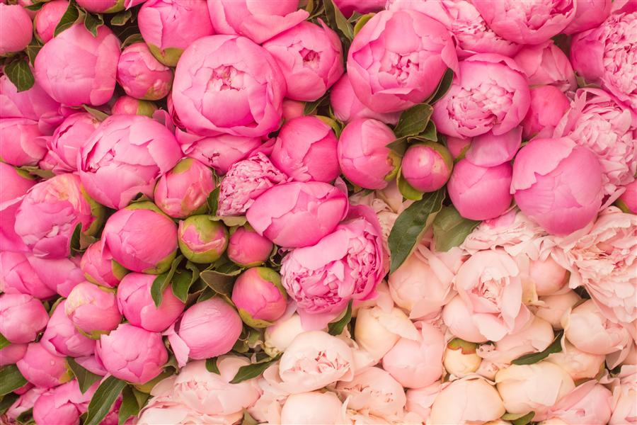 Original art for sale at UGallery.com | Peony Season in Paris by REBECCA PLOTNICK | $220 |  | ' h x ' w | http://www.ugallery.com/photography-peony-season-in-paris