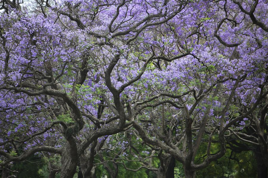 Original art for sale at UGallery.com | Jacaranda Garden by MARIA PLOTNIKOVA | $145 |  | ' h x ' w | http://www.ugallery.com/photography-jacaranda-garden
