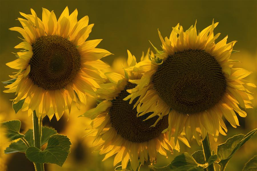 Original art for sale at UGallery.com | Sunflowers at Sunset by TARAS LESIV | $195 |  | ' h x ' w | http://www.ugallery.com/photography-sunflowers-at-sunset