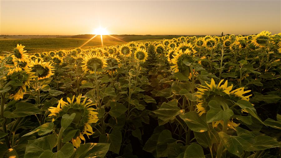 Discover Original Art by Taras Lesiv | Sunflower Field at Sunrise photography | Art for Sale Online at UGallery