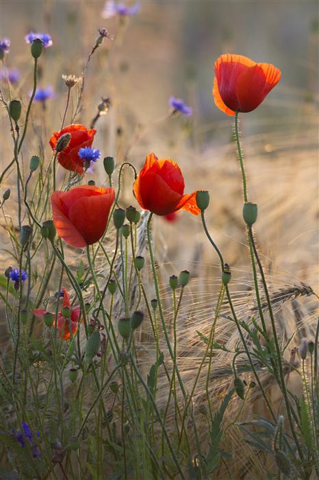 Discover Original Art by Taras Lesiv | Poppies and Cornflowers photography | Art for Sale Online at UGallery