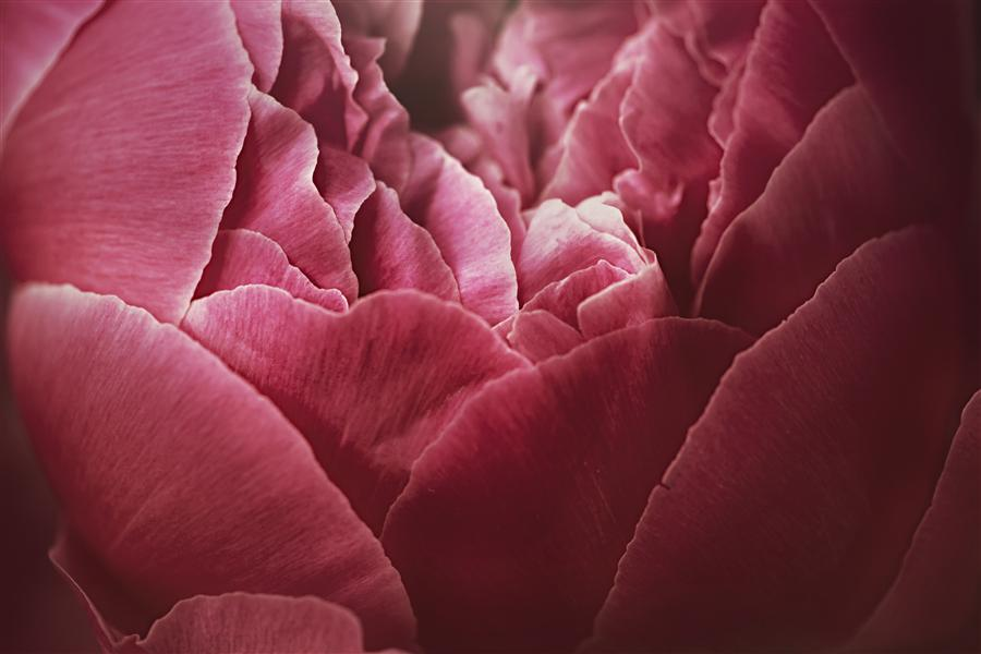 Original art for sale at UGallery.com | Peony Petals by WIFF HARMER | $220 |  | ' h x ' w | http://www.ugallery.com/photography-peony-petals