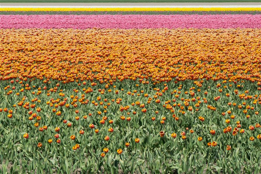 Original art for sale at UGallery.com | Tulip Fields #1 by KIMBERLY POPPE | $145 |  | ' h x ' w | http://www.ugallery.com/photography-tulip-fields-1