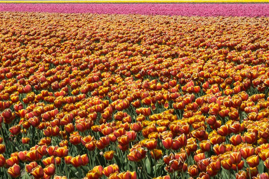 Original art for sale at UGallery.com | Tulip Fields #3 by KIMBERLY POPPE | $145 |  | ' h x ' w | http://www.ugallery.com/photography-tulip-fields-3