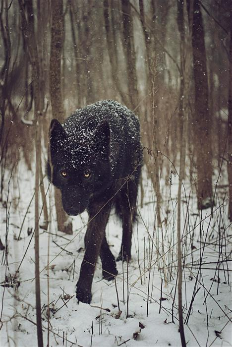 Original art for sale at UGallery.com | Snow Wolf by RACHEL LAUREN | $170 |  | ' h x ' w | http://www.ugallery.com/photography-snow-wolf