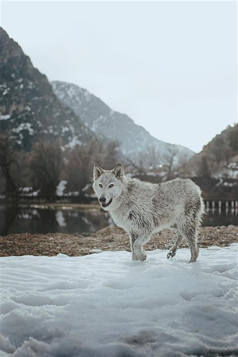 Original art for sale at UGallery.com | Mountain Wolf by RACHEL LAUREN | $170 |  | ' h x ' w | http://www.ugallery.com/photography-mountain-wolf