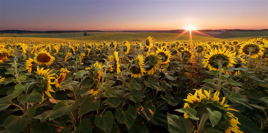 Discover Original Art by Taras Lesiv | Sunflower Field at Summer Sunrise photography | Art for Sale Online at UGallery