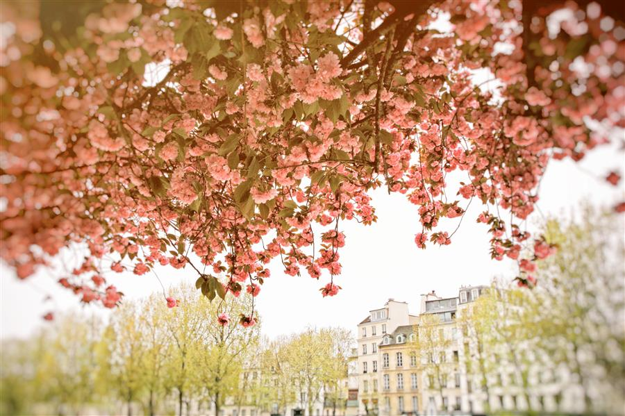 Discover Original Art by Carina Okula | Spring Blossoms in Paris photography | Art for Sale Online at UGallery